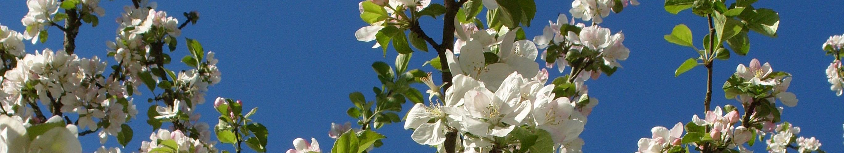 urshults äppelkungar